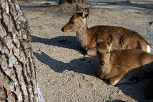 Sacred deer walk freely on Miyajima